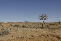Köcherbaum in Wüste