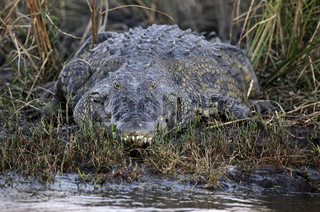 Nilkrokodil am Chobe-Fluss, Botswana, crocodile at Chobe River, Botsuana, Crocodylus niloticus