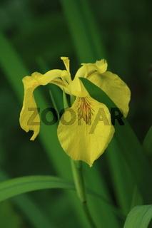 gelbe Sumpf- Schwertlilie