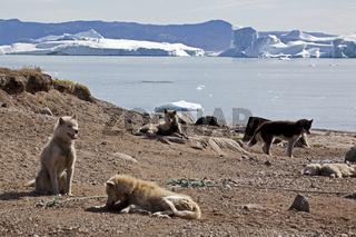 Schlittenhunde vor Eisbergen in Grönland