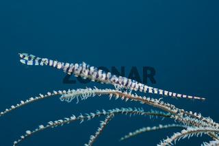Korallengarnele