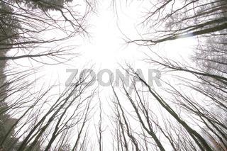 Hohe Bäume, Blick von unten, kahl und hell