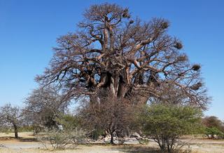 Chapman's Baobab, einer der größten Affenbrotbäume Botswanas, geschätzt 2500 Jahre, Makgadikgadi-Salzpfannen, the famous Chapman's Baobab, Botsuana
