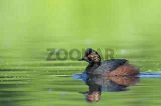 Schwarzhalstaucher, Podiceps nigricollis, Black-necked Grebe