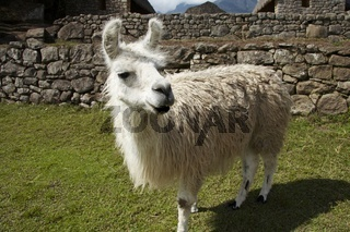 Llama in the Machu-Picchu city