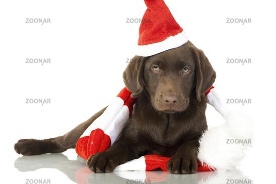 Labradorwelpe in Weihnachtsoutfit
