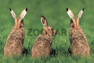 Drei Feldhasen sitzen nebeneinander