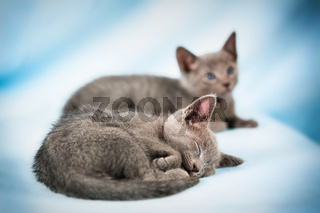 Sleeping kitten (breed 'Russian Blue') on a blue background