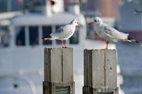 Möven im Hamburger Hafen