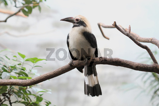 Polillo-Tariktik-Hornvogel