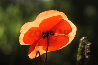 Papaver rhoeas, Klatschmohn, Field Poppy