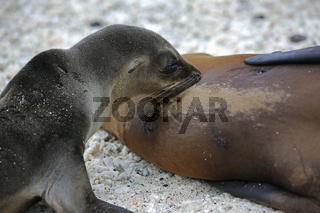 Junger Galapagos Seeloewe (Zalophus wollebaeki) an der Mutter sa