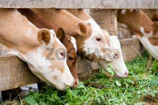 calves eating green rich fodder