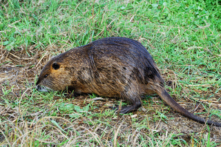 Nutria (Myocastor coypus) on a river bank