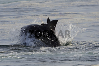 der Weisse Hai (Carcharodon carcharias), jagd jungen Seeloewen (