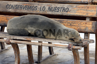 Galapagos Seeloewen (Zalophus wollebaeki), liegen auf einer Sitz