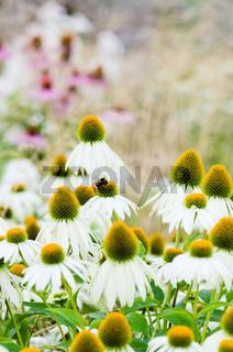 flowers medicinal herb echinacea purpurea or coneflower, close-up