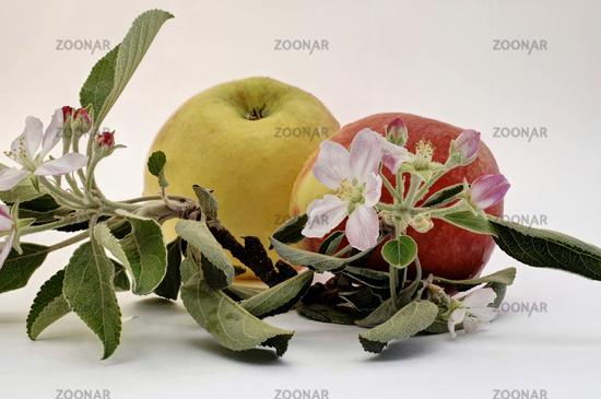 Äpfel und Blüten