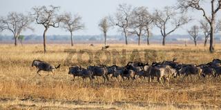 Wildebeest in Mikumi