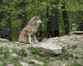 Gray Wolf sitting on small hill