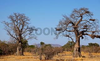 Landschaft mit Baobabs im South Luangwa Nationalpark, Sambia; landscape with Baobabs, Zambia