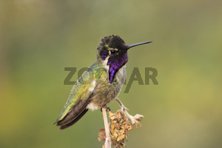 Calliope Hummingbird male (Selasphorus calliope)