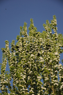 Pyrus communis Beech Hill, Saeulenbirnen