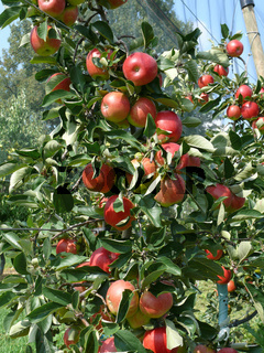 Malus domestica Pikora, Apfel, Apple