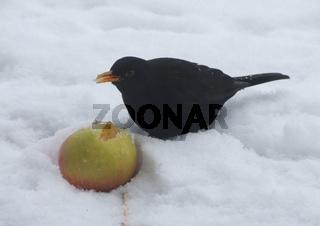 Turdus merula, Amsel isst Apfel