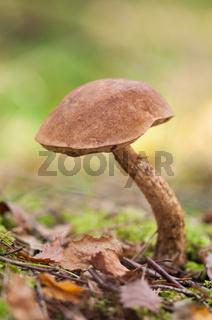 Birkenpilz, birch bolete (Leccinum scabrum)