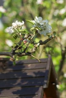 Apfelblüten im Frühling
