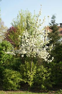 Pyrus communis, Birnbaum, Pear tree