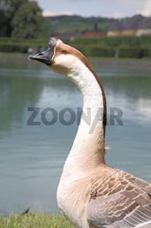 Die Höckergans (Anser cygnoides f. domestica) ist die domestizierte Form der Schwanengans (Anser cygnoides)   /   The Chinese goose