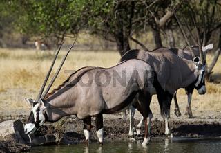 Oryxantilopen, Central Kalahari Game Reserve, Botswana, Botsuana, Oryx gazella, Gemsboks