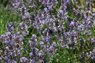 Lavandula angustifolia, Lavendel, Lavender