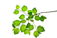 Branch-with-rounded-green-leaves-isolated-on-white-background