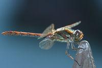 Große Heidelibelle - Sympetrum striolatum