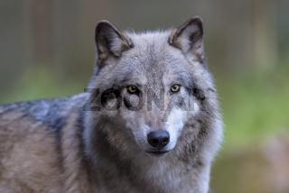 Timberwolf, Canis lupus lycaon, timber wolf