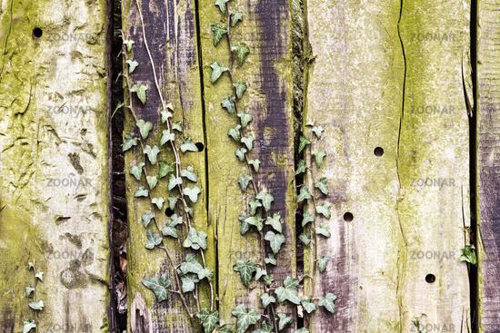 Eichenbretter Wand mit Efeu