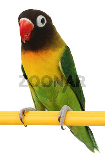 beautiful green parrot lovebird