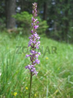 Knabenkraut; Dactylorhiza