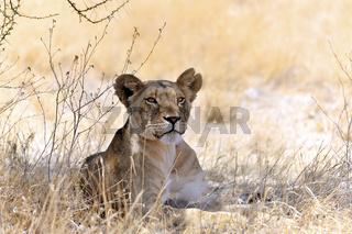 Löwe ruht im Schatten