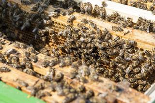 Bienen bei der Arbeit im Bienenstock