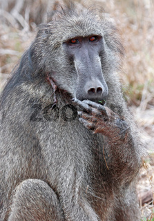Pavian zeigt Mittelfinger, Kruger Nationalpark, Südafrika; baboon shows middle finger, Kruger National Park, South Africa