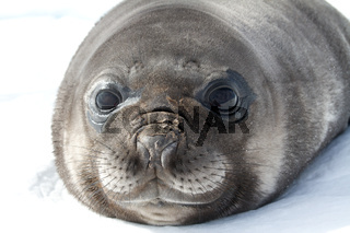 portrait pup southern elephant seal lying in the snow Antarctic Islands