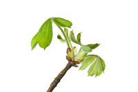 Close-up-of-buds-and-very-small-young-leaves-of-chestnut-tree-isolated-on-white