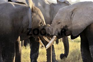 Begegnung und Zuneigung junger Elefanten, Amboseli