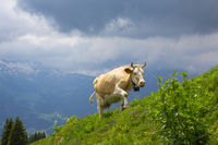 Brown milk cow in a meadow of grass and wildflowers in alps