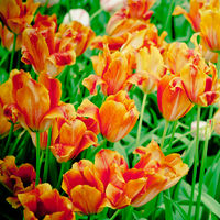 beautiful tulips. spring flowers