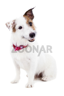 Puppy  jack russel terrier dog on a white background